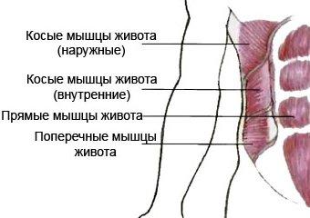 Рисунок: мышцы живота