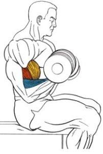 подъем гантелей на бицепс сидя